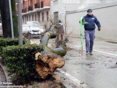 Un grande albero è crollato, ostruendo corso Michele Coppino ad Alba 2