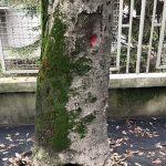 Verifiche in corso sull'albero caduto e su altri esemplari