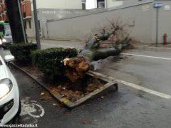 Un grande albero è crollato, ostruendo corso Michele Coppino ad Alba