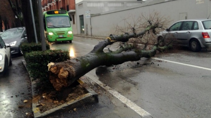 Un grande albero è crollato, ostruendo corso Michele Coppino ad Alba 1