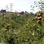 Nel Roero sta per nascere un percorso dedicato alla pera Madernassa