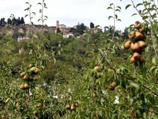Nel Roero sta per nascere un percorso dedicato alla pera Madernassa 1