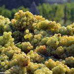 Uve: annata più lenta, qualità per il Moscato