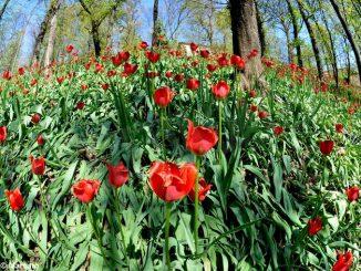 Govone annuncia un ricco programma per i 20 anni di Tulipani a corte