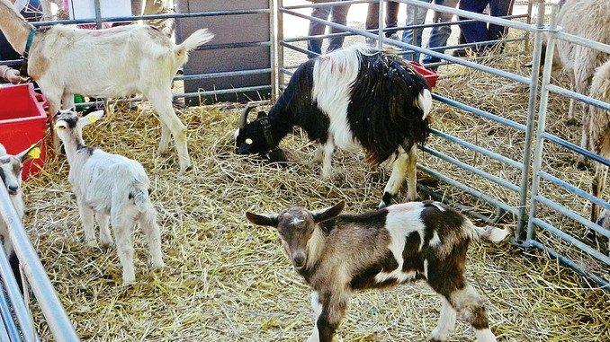 Costituito il consorzio regionale degli allevatori caprini