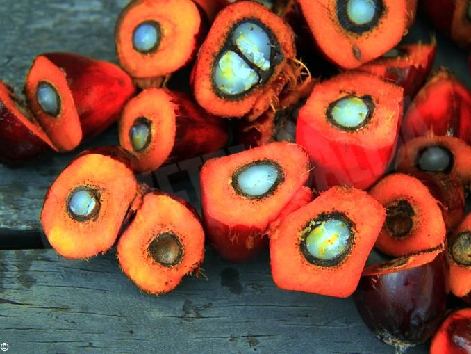 frutti palma per olio