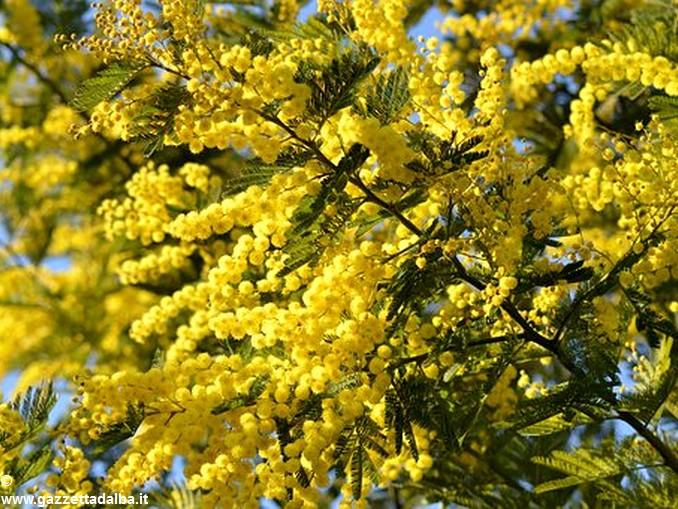 mimosa-2081990__340