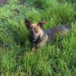 Abbandonati in un bosco, si cerca casa per due cuccioli di pastore tedesco