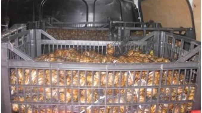 Sequestrati 640 chili di lumache provenienti dalla Grecia