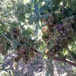 Nubifragi: danni ingenti ai vigneti nella zona di Nizza