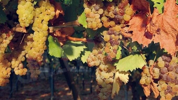 Moscato: Confagricoltura propone una resa di 85 quintali di uva per ettaro