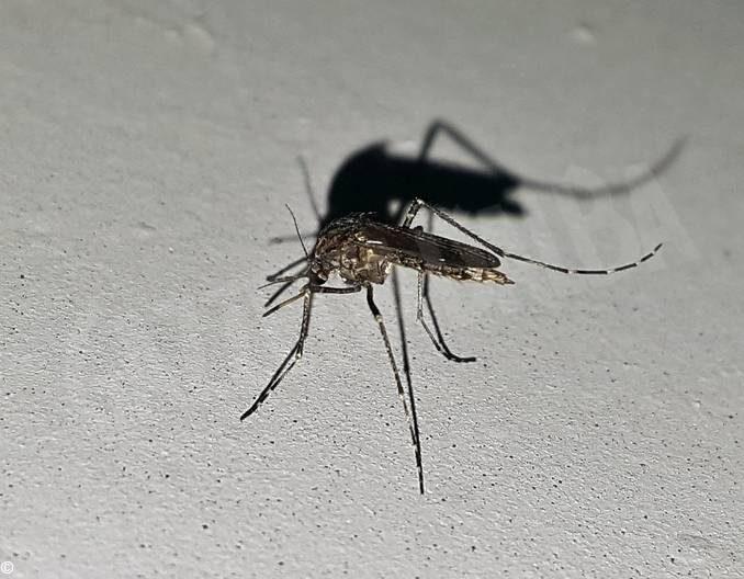 Il virus del Nilo è arrivato da noi: in Piemonte è diffuso in quasi tutte le province