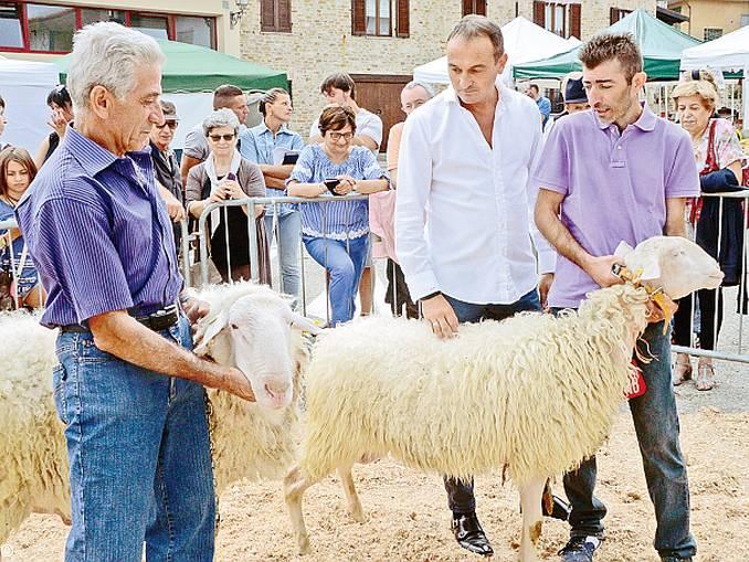 Premiazione pecore Murazzano