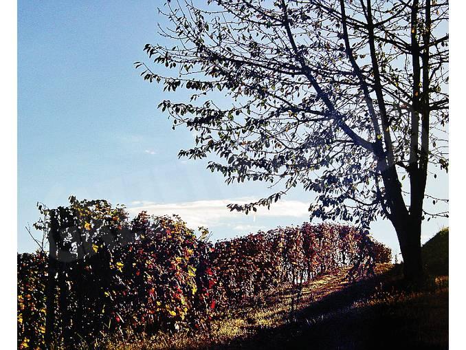 albero tra le vigne