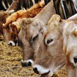 Tribunale cancella le quote latte per prescrizione