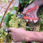 Prezzi uve Cciaa: meglio fossero delle rilevazioni