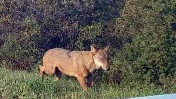 Avvistato un lupo vicino alla strada tra Bossolasco e Murazzano