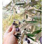 Ottima annata per l'olio di Castiglione Tinella