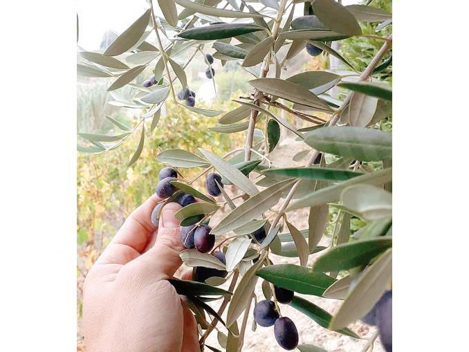 ulivi castiglione tinella