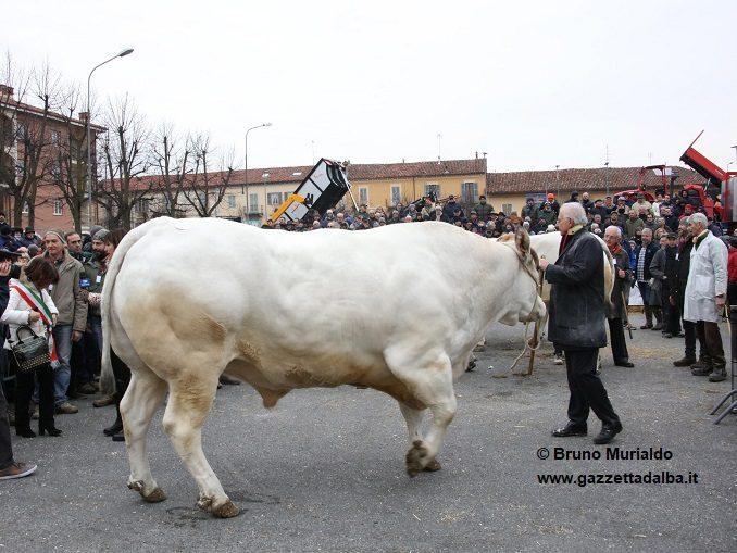 Fiera Bue grasso di Carrù da record: 147 esemplari in concorso 1