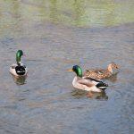 Censiti gli uccelli acquatici del Parco del Monviso