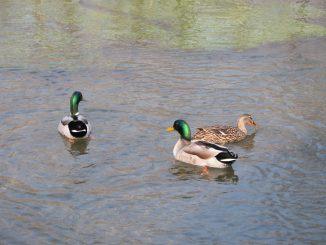 Censiti gli uccelli acquatici del Parco del Monviso 1