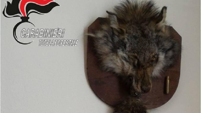 Testa lupo imbalsamata, multa cacciatore