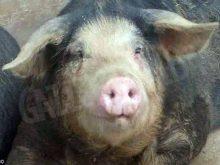 Alla ricerca del Cavour, il maiale nero perduto 1