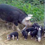 Alla ricerca del Cavour, il maiale nero perduto