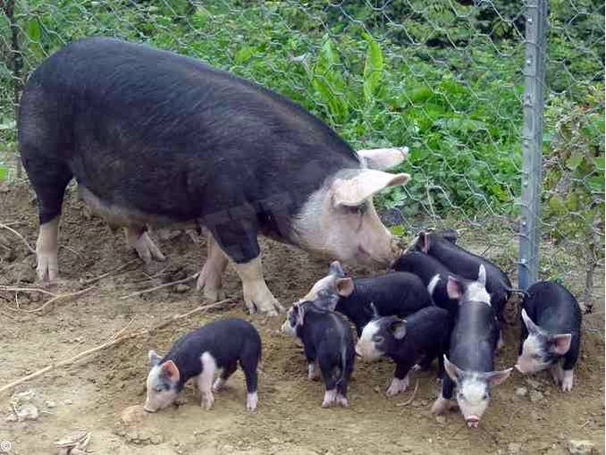 Alla ricerca del Cavour, il maiale nero perduto 2