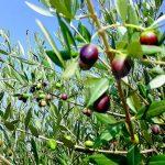 L'olio di Alba viene da Santa Rosalia