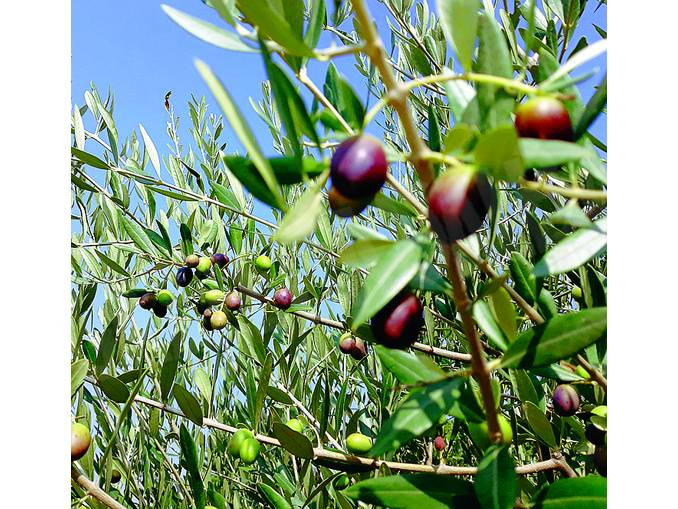 olive santa rosalia