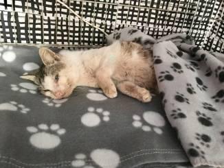 Travor, gatto ferito a fucilate e abbandonato