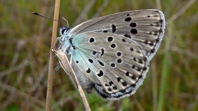 Maculinea arion, la farfalla che si finge formica, è a rischio in Langa 2