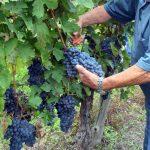 Il robusto ma sensibile Barbera, vitigno nobile