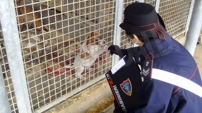 Denunciata un'allevatrice di cani di Cossano Belbo che prescriveva farmaci come se fosse un veterinario 1