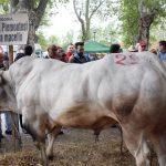 Alla fiera di Bra premiato un toro da oltre una tonnellata