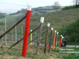 """Le vigne """"a colori"""" dei produttori priocchesi 2"""