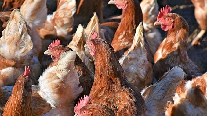 16 milioni di polli macellati l'anno: la struttura di Roreto di Cherasco 1