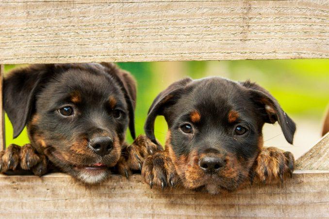 Sgominata una banda dedita al contrabbando di cuccioli di razza