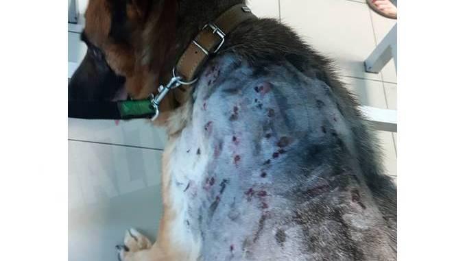 Lilly, femmina di pastore tedesco, è stata colpita  a fucilate