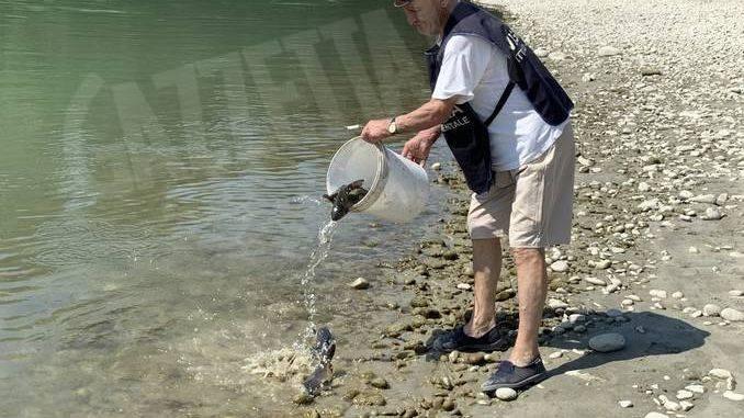 Seimila carpe rilasciante in Tanaro dai pescatori sportivi 1