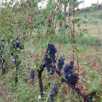Il giorno dopo: le foto dei grappoli d'uva a Madonna di Como e Diano d'Alba, dopo la grandinata