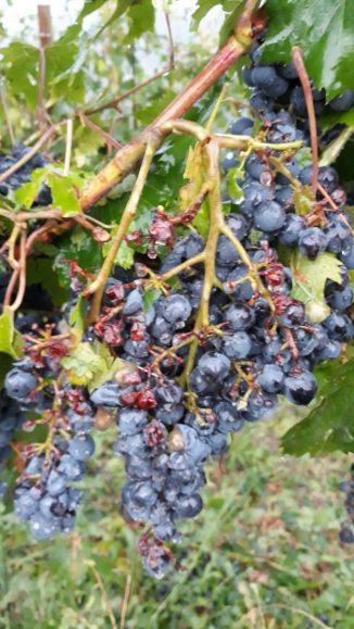 Il giorno dopo: le foto dei grappoli d'uva a Madonna di Como, dopo la grandinata