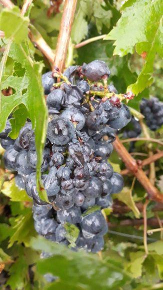 Il giorno dopo: le foto dei grappoli d'uva a Madonna di Como, dopo la grandinata 1