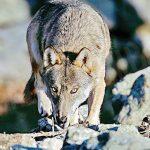In Piemonte più lupi che nel resto dell'arco alpino