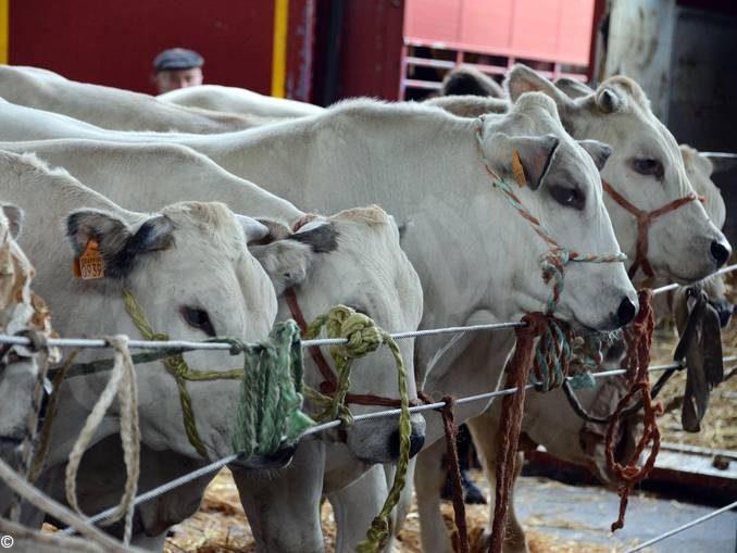 59 capi in concorso alla rassegna dei bovini di sottorazza albese 1