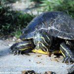 Le tartarughe randagie saranno ricoverate in un centro a Sommariva Perno