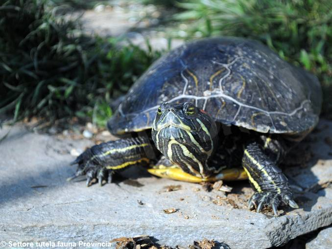 tartaruga trachemys