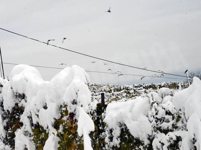 Colombi e neve 1